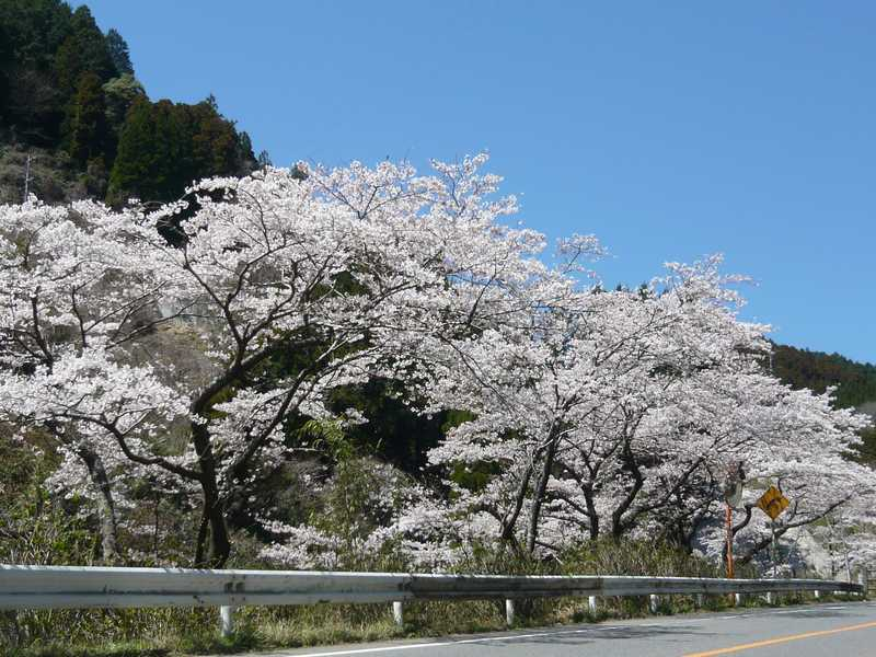 脊振渓谷の桜並木