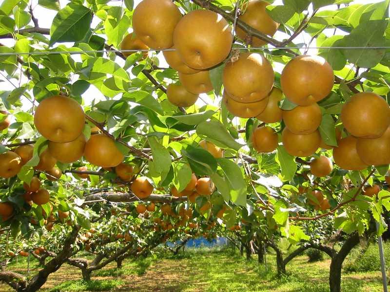 果樹の森よこせ梨園