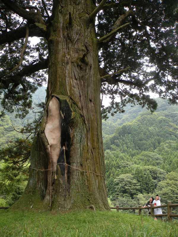 中川のほうき杉