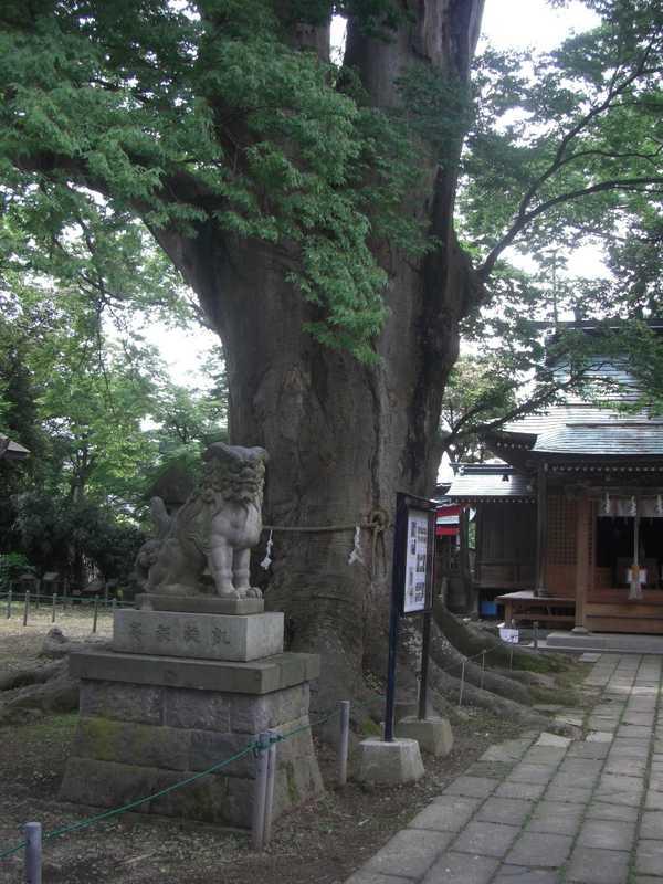 諏訪神社の大ケヤキ