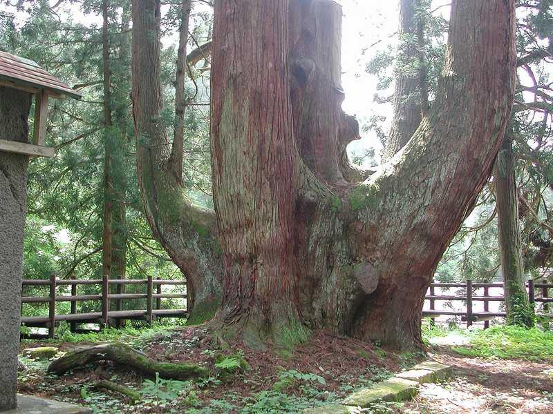 三川の将軍杉