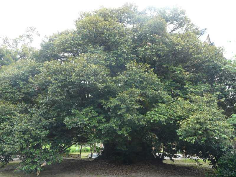 西福寺のスダジイ