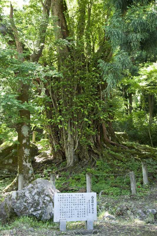 白山神社のカツラ