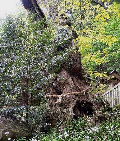 戒場神社のホオノキ