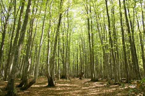 安比高原ブナ林の画像 気軽にブナの森を散策しようブナは、温帯林を代表する落葉高木で、日本の代..