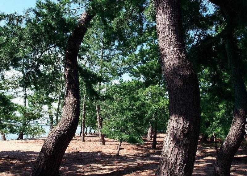 室積・虹ヶ浜海岸松林