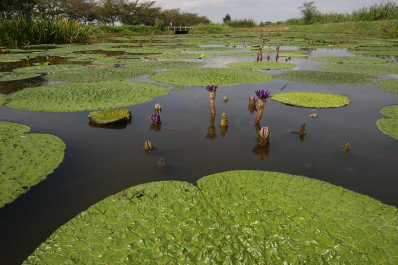 福島潟の草いきれ