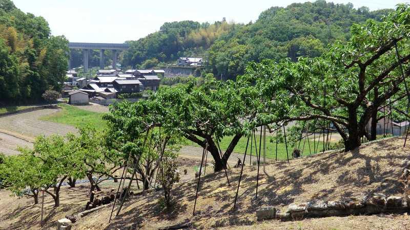 吉備丘陵の白桃の画像