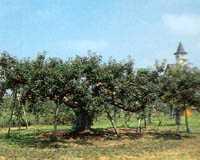 板柳町ふるさとセンター観光リンゴ園