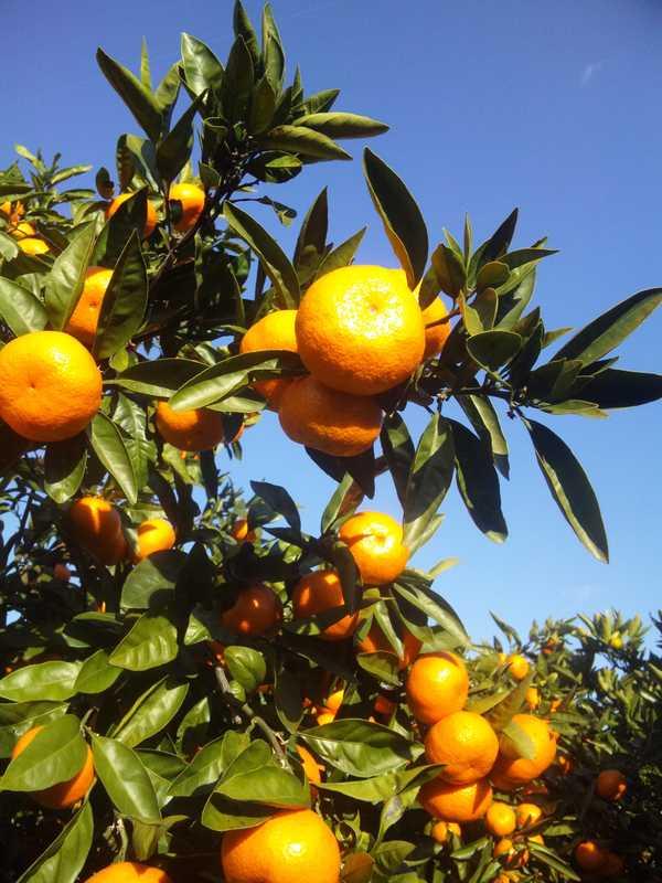 土方柑橘園