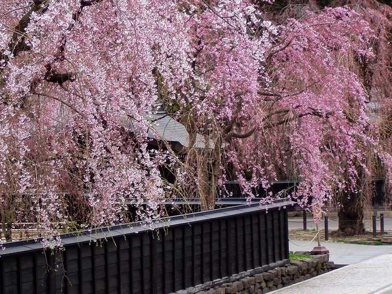 角館の桜祭り
