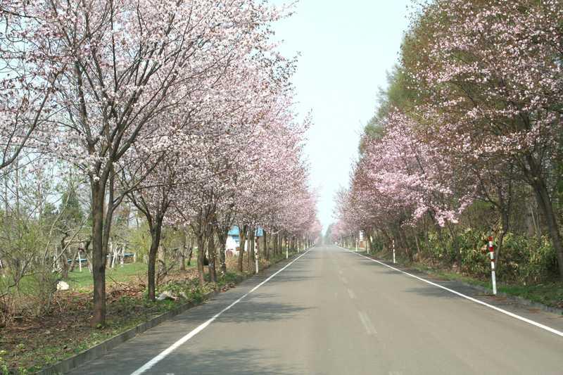 岩木山麓桜並木