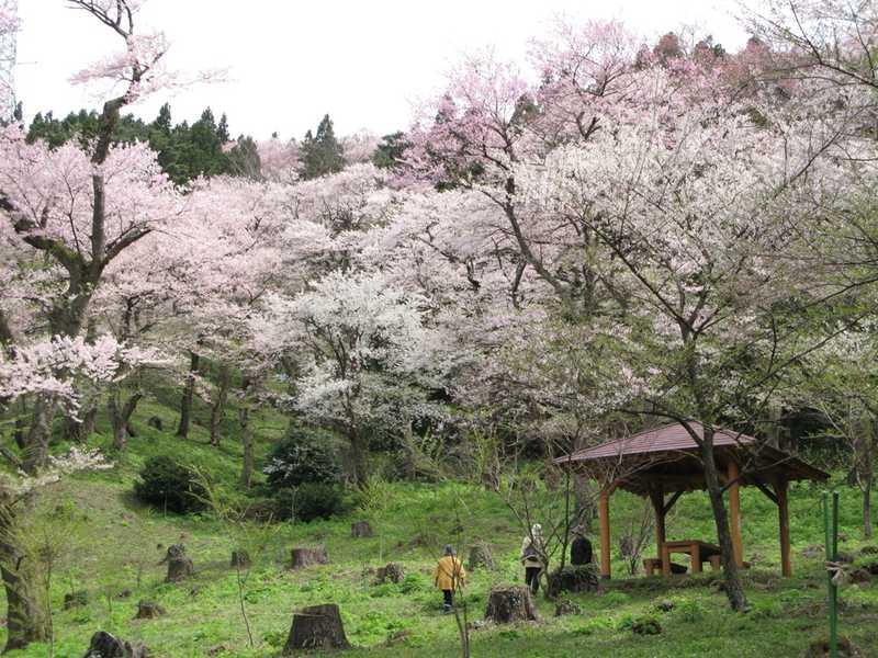 小山田ヒガンザクラ樹林