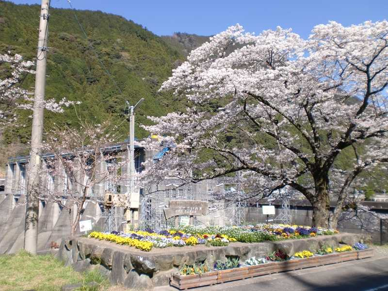 秋葉ダム湖畔千本桜