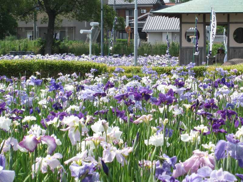 油ヶ渕花しょうぶ園