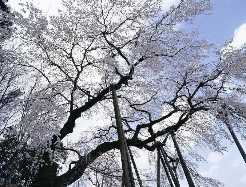 奥山田の枝垂桜