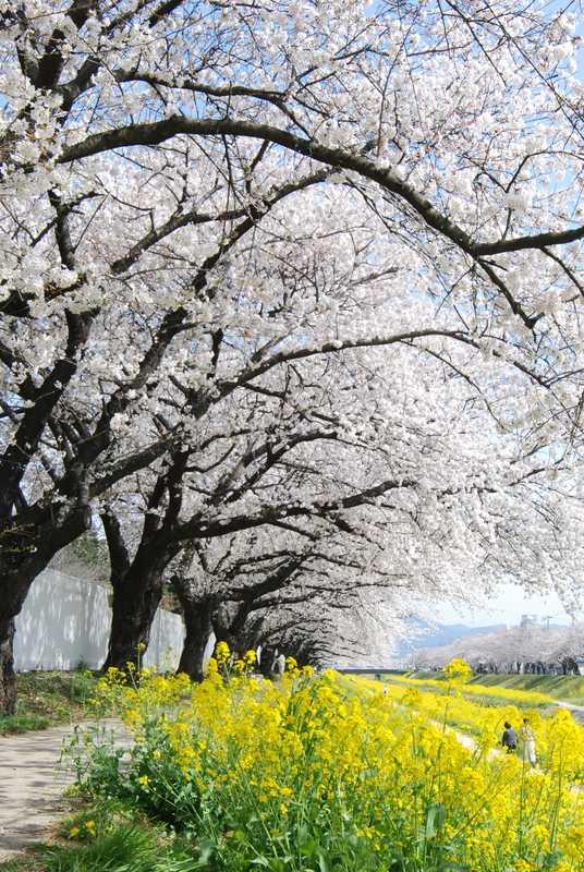 諏訪の桜トンネル及び佐奈川堤
