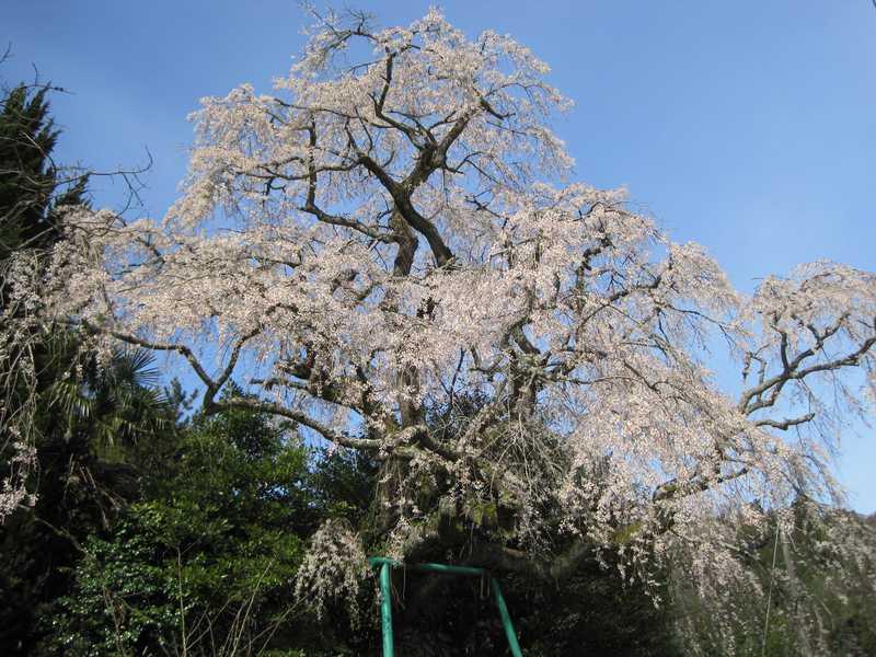 山本の白枝垂桜