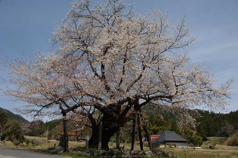 尾所の桜の画像