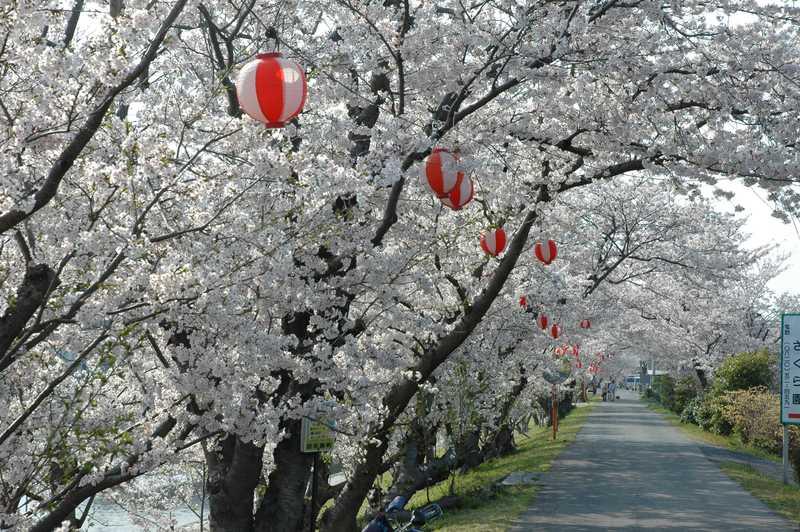 田布施川河畔桜並木