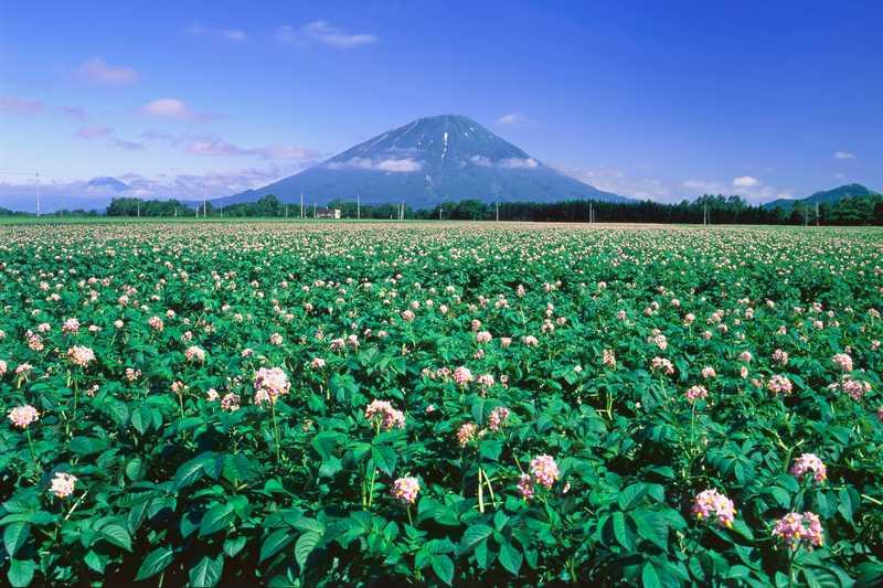 羊蹄山とジャガイモ畑