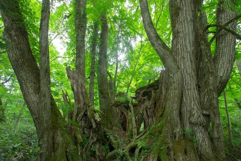 美笛の巨木の森