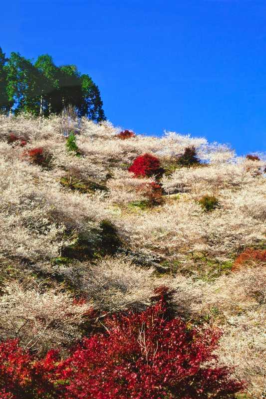川見四季桜公園
