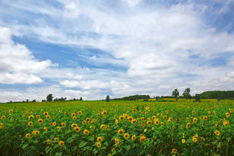 北竜町のヒマワリ畑