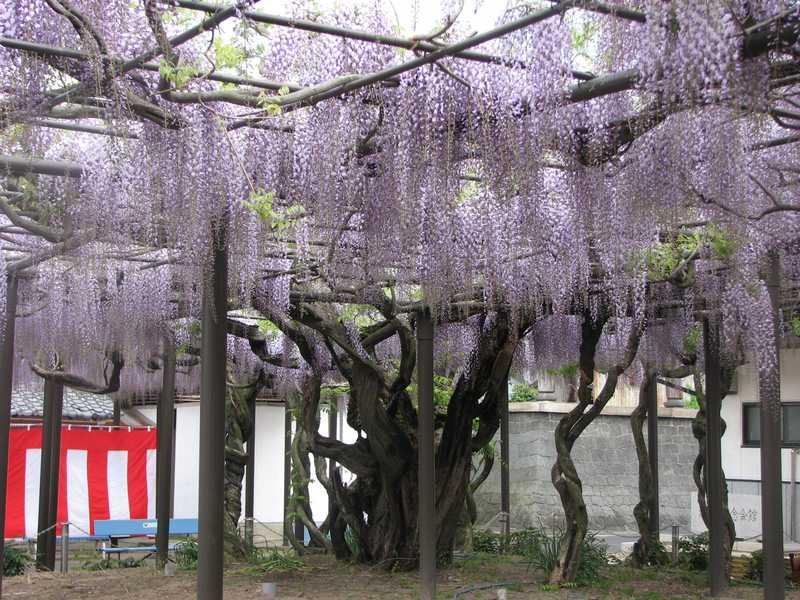 竹鼻別院のフジ