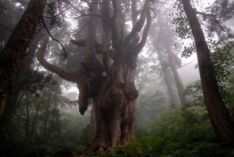 岩倉の乳房杉