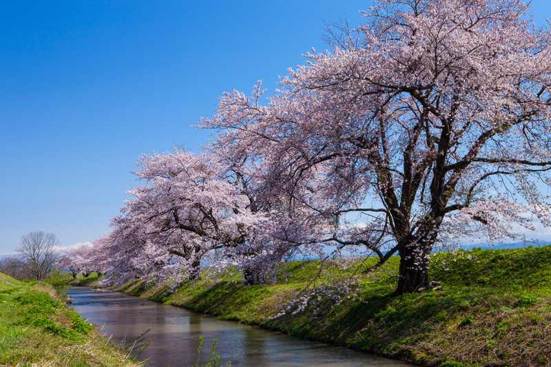 馬渡川桜並木