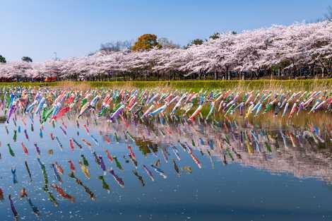 鶴生田川の画像 ギネス認定のこいのぼりで有名な桜の里童話「分福茶釜」のモデルとなった茂... 鶴