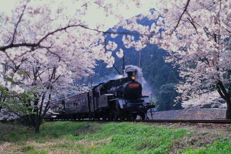 大井川鐵道のSLと家山の桜トンネル