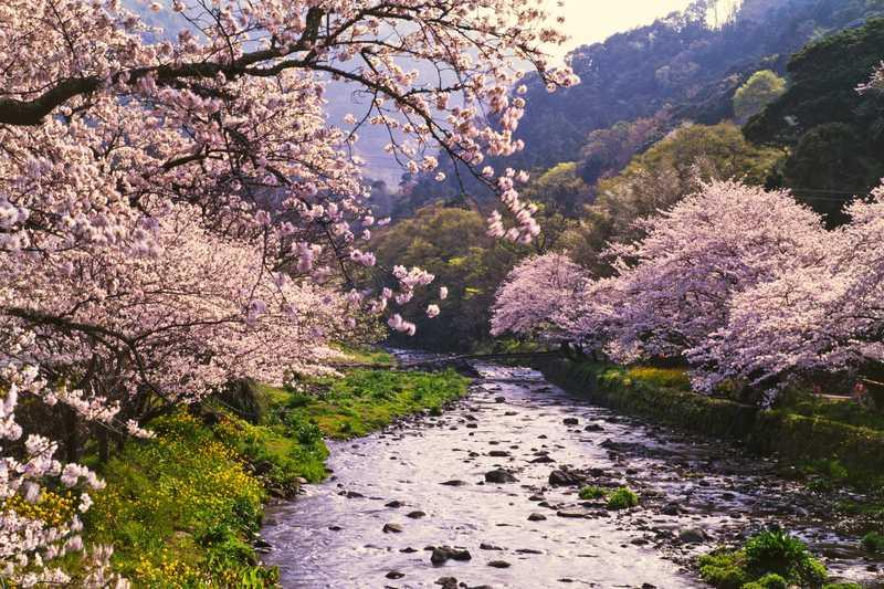 那賀川桜並木