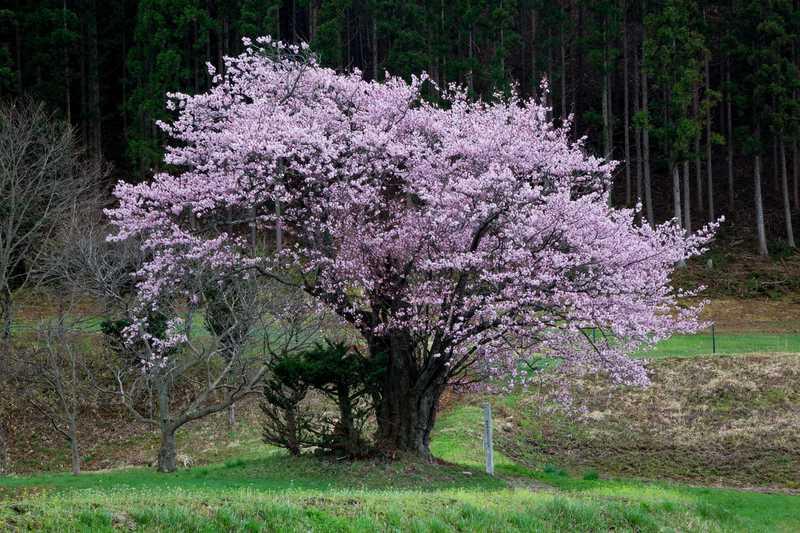 土淵町大洞の山桜