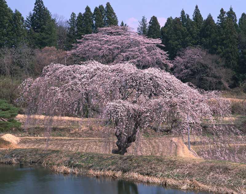 花園の枝垂桜