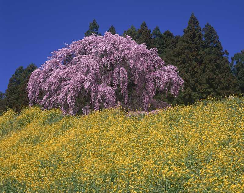 合戦場の枝垂桜の画像