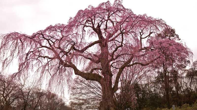 八十内かもん桜