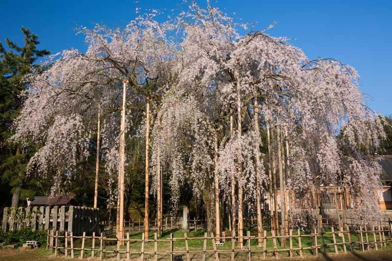 足羽神社しだれ桜