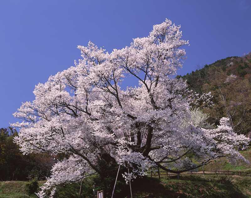 佛隆寺 千年桜