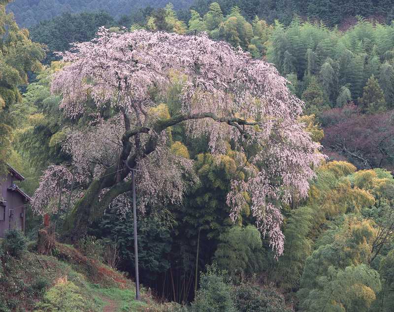 満願寺の八講桜