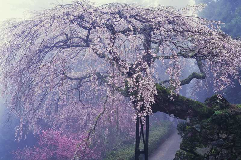 瀧蔵神社の権現桜