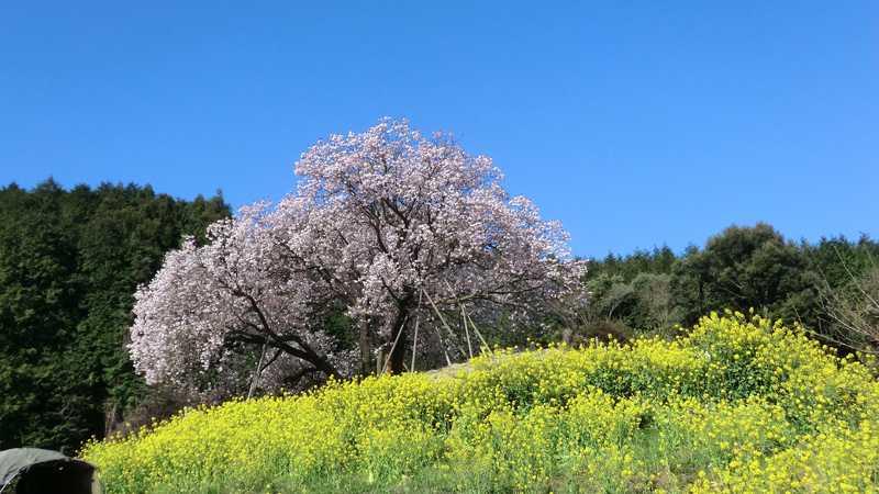 納戸料の百年桜