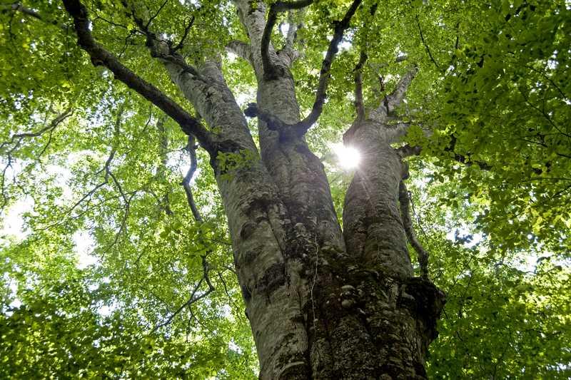 十和田のブナ森の神