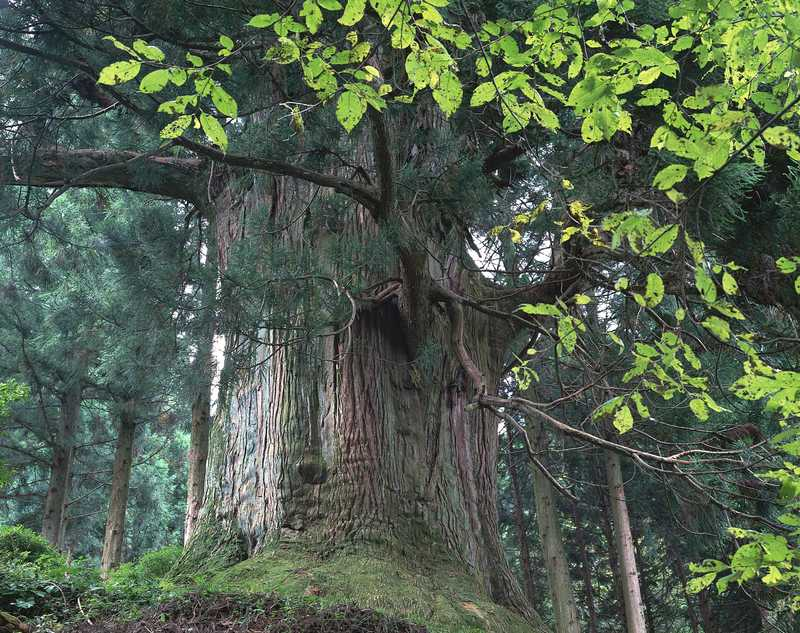 笹子峠の矢立の杉