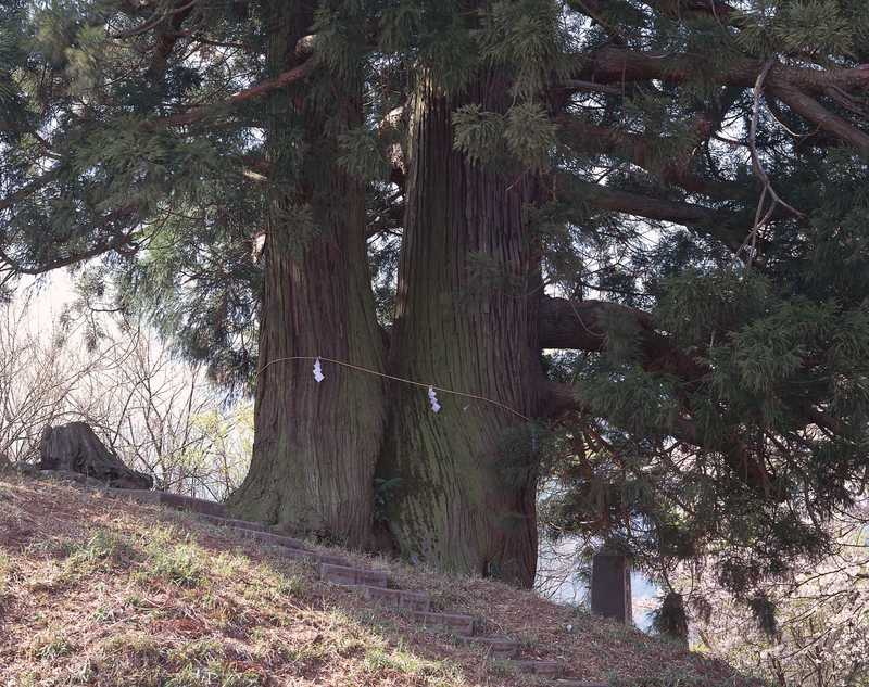 花鳥山の一本杉