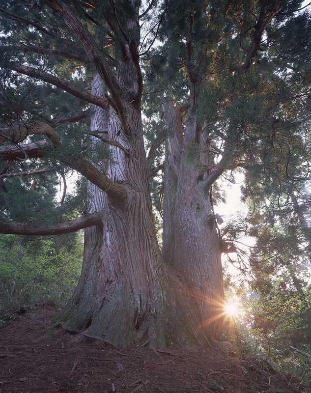 石徹白の浄安杉