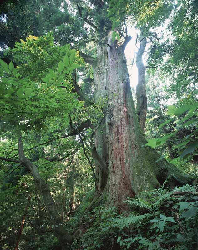 杉坂峠の三本杉