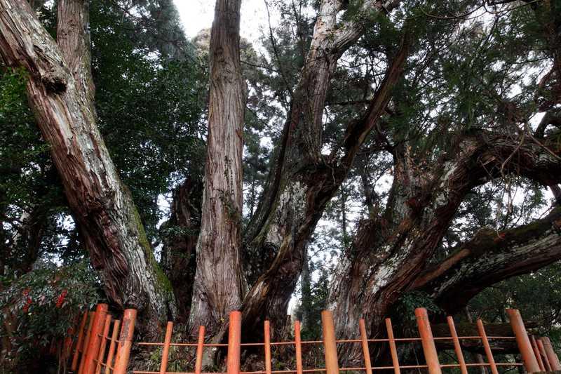 八つ房杉(桜実神社)
