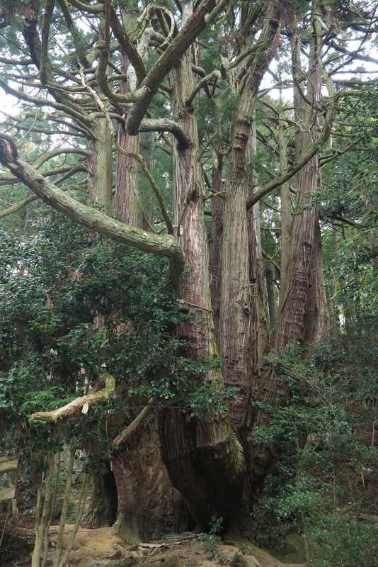 高井の千本杉